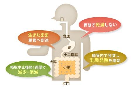 有胞子性乳酸菌の説明